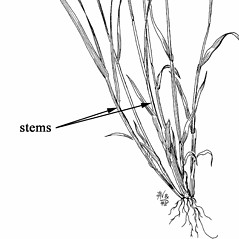 Stems and sheaths: Vahlodea atropurpurea. ~ By Mary Barkworth. ~ Copyright © 2017 Mary Barkworth. ~ Mary.Barkworth[at]usu.edu ~ Manual of Grasses for North America
