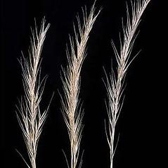 Inflorescences: Vulpia bromoides. ~ By Joseph DiTomaso. ~ Copyright © 2020 CC BY-NC 3.0. ~  ~ Bugwood - www.bugwood.org/