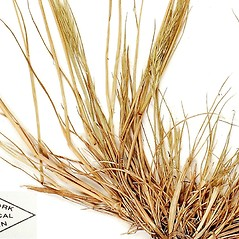 Stems and sheaths: Vulpia bromoides. ~ By William and Linda Steere and the C.V. Starr Virtual Herbarium. ~ Copyright © 2017 William and Linda Steere and the C.V. Starr Virtual Herbarium. ~ Barbara Thiers, Director; bthiers[at]nybg.org ~ C.V. Starr Herbarium - NY Botanical Gardens