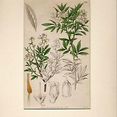 Plant form: Gilia achilleifolia. ~ By William Curtis. ~  Public Domain. ~ None needed ~ Robert W. Freckmann Herbarium, U. of Wisconsin-Stevens Point