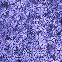 Flowers: Phlox bifida. ~ By John Lynch. ~ Copyright © 2019 New England Wild Flower Society. ~ Image Request, images[at]newenglandwild.org
