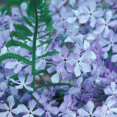 Flowers: Phlox divaricata. ~ By William Larkin. ~ Copyright © 2018 New England Wild Flower Society. ~ Image Request, images[at]newenglandwild.org