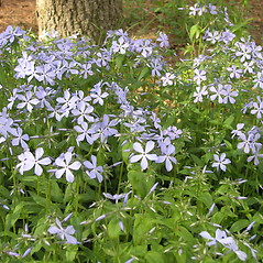 Plant form: Phlox divaricata. ~ By Bruce Patterson. ~ Copyright © 2018 Bruce Patterson. ~ foxpatterson[at]comcast.net