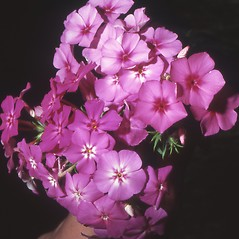 Flowers: Phlox drummondii. ~ By Robert Buchsbaum. ~ Copyright © 2018 Robert Buchsbaum. ~ rbuchsbaum[at]massaudubon.org