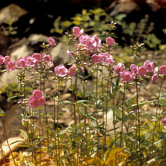 Plant form: Phlox latifolia. ~ By West Virginia University Herbarium. ~ Copyright © 2018. ~ Rusty Russell at Smithsonian ~ West Virginia U. Herbarium