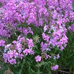 Plant form: Phlox maculata. ~ By Louis-M. Landry. ~ Copyright © 2018 Louis-M. Landry. ~ LM.Landry[at]videotron.ca  ~ CalPhotos - calphotos.berkeley.edu/flora/