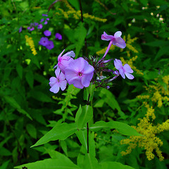Flowers: Phlox paniculata. ~ By Arthur Haines. ~ Copyright © 2018. ~ arthurhaines[at]wildblue.net