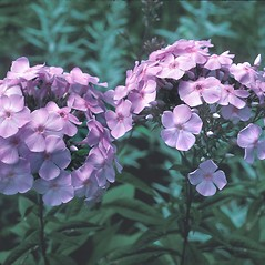 Flowers: Phlox paniculata. ~ By John Lynch. ~ Copyright © 2018 New England Wild Flower Society. ~ Image Request, images[at]newenglandwild.org