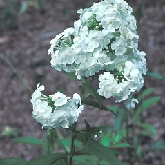 Flowers: Phlox paniculata. ~ By John Lynch. ~ Copyright © 2019 New England Wild Flower Society. ~ Image Request, images[at]newenglandwild.org