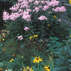 Plant form: Phlox paniculata. ~ By John Lynch. ~ Copyright © 2018 New England Wild Flower Society. ~ Image Request, images[at]newenglandwild.org