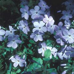 Flowers: Phlox stolonifera. ~ By John Lynch. ~ Copyright © 2019 New England Wild Flower Society. ~ Image Request, images[at]newenglandwild.org