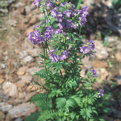 Plant form: Polemonium caeruleum. ~ By John Lynch. ~ Copyright © 2020 New England Wild Flower Society. ~ Image Request, images[at]newenglandwild.org