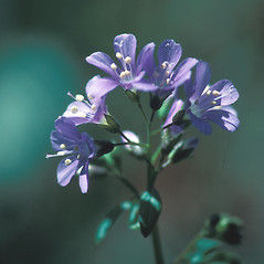 Flowers: Polemonium reptans. ~ By John Lynch. ~ Copyright © 2018 New England Wild Flower Society. ~ Image Request, images[at]newenglandwild.org