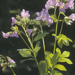 Leaves: Polemonium reptans. ~ By Albert Bussewitz. ~ Copyright © 2018 New England Wild Flower Society. ~ Image Request, images[at]newenglandwild.org