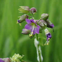 Flowers: Polemonium vanbruntiae. ~ By Marilee Lovit. ~ Copyright © 2017 Marilee Lovit. ~ lovitm[at]gmail.com