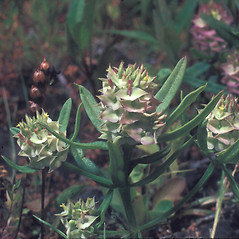 Plant form: Polygala cruciata. ~ By Frank Bramley. ~ Copyright © 2019 New England Wild Flower Society. ~ Image Request, images[at]newenglandwild.org