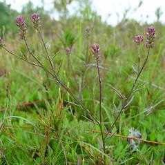 Plant form: Polygala nuttallii. ~ By Arthur Haines. ~ Copyright © 2019. ~ arthurhaines[at]wildblue.net