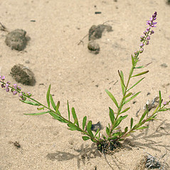 Plant form: Polygala polygama. ~ By Keir Morse. ~ Copyright © 2020 Keir Morse. ~ www.keiriosity.com ~ www.keiriosity.com