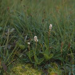 Plant form: Bistorta vivipara. ~ By Glen Mittelhauser. ~ Copyright © 2017 Glen Mittelhauser. ~ www.mainenaturalhistory.org