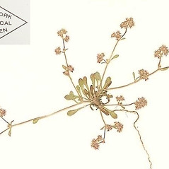 Plant form: Chorizanthe pungens. ~ By William and Linda Steere and the C.V. Starr Virtual Herbarium. ~ Copyright © 2019 William and Linda Steere and the C.V. Starr Virtual Herbarium. ~ Barbara Thiers, Director; bthiers[at]nybg.org ~ C.V. Starr Herbarium - NY Botanical Gardens