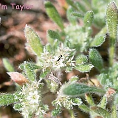 Leaves: Chorizanthe pungens. ~ By Dean Wm. Taylor. ~ Copyright © 2019 Dean Wm. Taylor. ~ deanwmtaylor[at]gmail.com ~ CalPhotos - calphotos.berkeley.edu/flora/