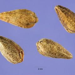 Fruits: Fagopyrum tataricum. ~ By Steve Hurst. ~  Public Domain. ~  ~ USDA-NRCS Plants Database - plants.usda.gov/java/