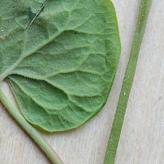Leaves: Fallopia cilinodis. ~ By Arieh Tal. ~ Copyright © 2020 Arieh Tal. ~ http://botphoto.com/ ~ Arieh Tal - botphoto.com
