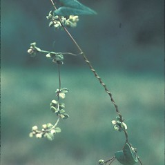 Plant form: Fallopia convolvulus. ~ By Lawrence Newcomb. ~ Copyright © 2019 New England Wild Flower Society. ~ Image Request, images[at]newenglandwild.org