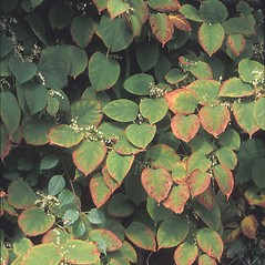 Plant form: Fallopia japonica. ~ By Albert Bussewitz. ~ Copyright © 2018 New England Wild Flower Society. ~ Image Request, images[at]newenglandwild.org