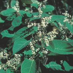 Leaves: Fallopia japonica. ~ By John Lynch. ~ Copyright © 2019 New England Wild Flower Society. ~ Image Request, images[at]newenglandwild.org