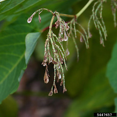 Fruits: Fallopia sachalinensis. ~ By Leslie Mehrhoff. ~ Copyright © 2018 CC BY-NC 3.0. ~  ~ Bugwood - www.bugwood.org/