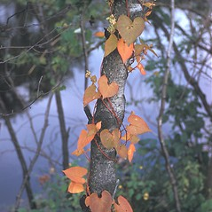 Plant form: Fallopia scandens. ~ By Frank Bramley. ~ Copyright © 2017 New England Wild Flower Society. ~ Image Request, images[at]newenglandwild.org