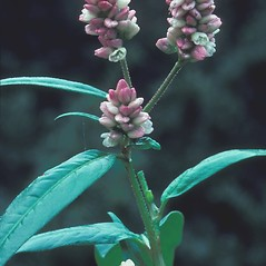 Flowers: Persicaria amphibia. ~ By Albert Bussewitz. ~ Copyright © 2018 New England Wild Flower Society. ~ Image Request, images[at]newenglandwild.org