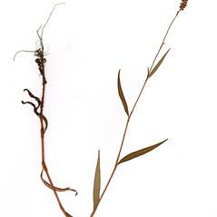 Plant form: Persicaria careyi. ~ By CONN Herbarium. ~ Copyright © 2018 CONN Herbarium. ~ Requests for image use not currently accepted by copyright holder ~ U. of Connecticut Herbarium - bgbaseserver.eeb.uconn.edu/