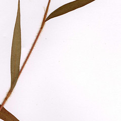 Leaves: Persicaria careyi. ~ By CONN Herbarium. ~ Copyright © 2018 CONN Herbarium. ~ Requests for image use not currently accepted by copyright holder ~ U. of Connecticut Herbarium - bgbaseserver.eeb.uconn.edu/