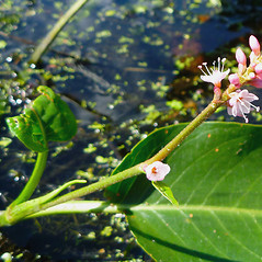 Stems: Persicaria coccinea. ~ By Dawn Dentzer. ~ Copyright © 2020. ~ dawndentzer[at]gmail.com