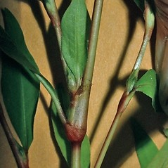 Stems: Persicaria hydropiper. ~ By Andrew Nelson. ~ Copyright © 2018 Andrew Nelson. ~ andrew.nelson[at]oswego.edu   ~ New York Flora Atlas - newyork.plantatlas.usf.edu