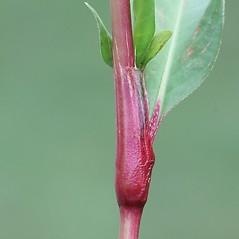 Stems: Persicaria hydropiper. ~ By Arieh Tal. ~ Copyright © 2019 Arieh Tal. ~ http://botphoto.com/ ~ Arieh Tal - botphoto.com