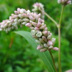 Flowers: Persicaria lapathifolia. ~ By Glen Mittelhauser. ~ Copyright © 2018 Glen Mittelhauser. ~ www.mainenaturalhistory.org
