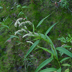 Plant form: Persicaria lapathifolia. ~ By Arthur Haines. ~ Copyright © 2020. ~ arthurhaines[at]wildblue.net