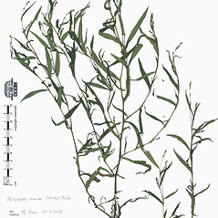 Plant form: Persicaria minor. ~ By Botanic Garden and Botanical Museum Berlin-Dahlem. ~ Copyright © 2019 CC BY-SA. ~  ~ Botanic Garden and Botanical Museum Berlin-Dahlem - ww2.bgbm.org/Herbarium/default.cfm