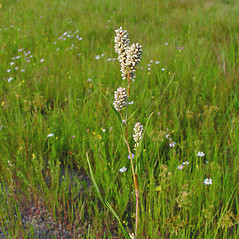 Flowers: Persicaria pensylvanica. ~ By Arthur Haines. ~ Copyright © 2020. ~ arthurhaines[at]wildblue.net