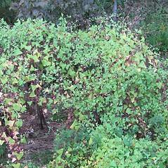 Plant form: Persicaria perfoliata. ~ By Jennifer Garrett. ~ Copyright © 2019 Jennifer Garrett. ~ gemmiferg[at]gmail.com