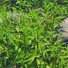 Leaves: Persicaria punctata. ~ By Glen Mittelhauser. ~ Copyright © 2018 Glen Mittelhauser. ~ www.mainenaturalhistory.org