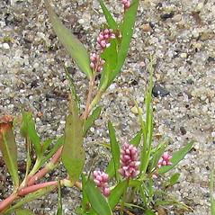 Flowers: Persicaria puritanorum. ~ By Jennifer Garrett. ~ Copyright © 2017 Jennifer Garrett. ~ gemmiferg[at]gmail.com