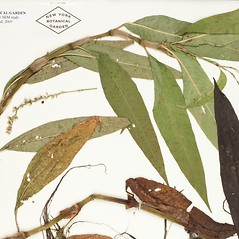 Leaves: Persicaria robustior. ~ By William and Linda Steere and the C.V. Starr Virtual Herbarium. ~ Copyright © 2019 William and Linda Steere and the C.V. Starr Virtual Herbarium. ~ Barbara Thiers, Director; bthiers[at]nybg.org ~ C.V. Starr Herbarium - NY Botanical Gardens