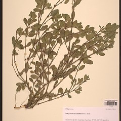 Plant form: Polygonum achoreum. ~ By University of Alaska Museum. ~ Copyright © 2018 CC BY-SA 2.0. ~  ~ Morphbank - Biological Imaging - www.morphbank.net