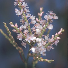 Flowers: Polygonum articulatum. ~ By Adelaide Pratt. ~ Copyright © 2018 New England Wild Flower Society. ~ Image Request, images[at]newenglandwild.org