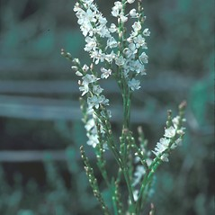 Flowers: Polygonum articulatum. ~ By John Lynch. ~ Copyright © 2018 New England Wild Flower Society. ~ Image Request, images[at]newenglandwild.org