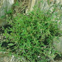 Plant form: Polygonum aviculare. ~ By Glen Mittelhauser. ~ Copyright © 2018 Glen Mittelhauser. ~ www.mainenaturalhistory.org